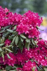 Rhododendron Old Port • Rhododendron Hybride Old Port