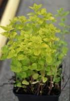 Garten-Dost Thumbies • Origanum vulgare Thumbies