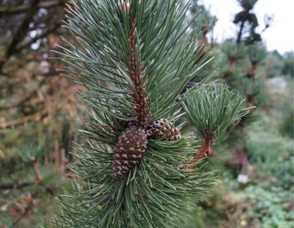Haken-Kiefer • Pinus uncinata