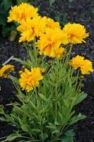 Großblumiges Garten-Mädchenauge Sunray • Coreopsis grandiflora Sunray