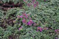 Garten Thymian Red Carpet - Thymus praecox 'Red Carpet'