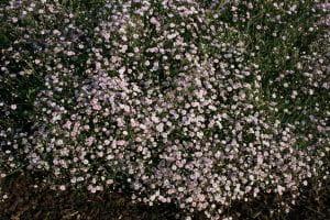 Garten-Schleierkraut Rosenschleier • Gypsophila repens Rosenschleier