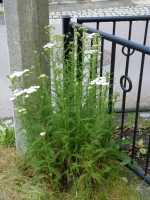 Schaf-Garbe weiß • Achillea millefolium, weiß