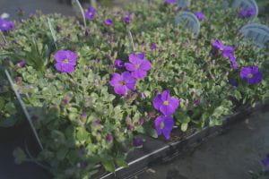 Garten Blaukissen Kitte • Aubrieta x cult. Kitte