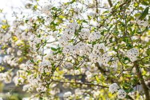 Osterschneeball • Viburnum burkwoodii