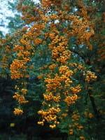 Feuerdorn Orange Charmer • Pyracantha Orange Charmer
