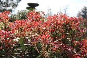 Schattenglöckchen Mountain Fire • Pieris japonica Mountain Fire