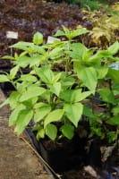 Topinambur • Helianthus tuberosus Topinambur