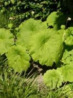 Tafelblatt • Astilboides tabularis