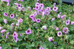 Storchschnabel Jolly Jewel Night • Geranium cinereum Jolly Jewel Night