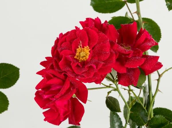 Rose Mainaufeuer ® • Rosa Mainaufeuer ®