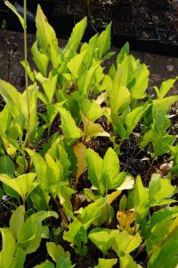 Garten-Fallschirm-Sonnenhut - Rudbeckia nitida Juligold