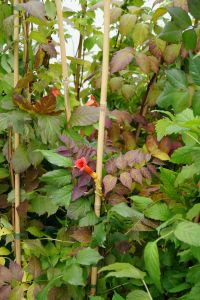 Klettertrompete Stromboli • Campsis radicans Stromboli