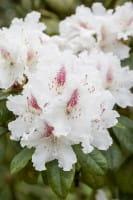 Rhododendron Schneeauge • Rhododendron hybride Schneeauge