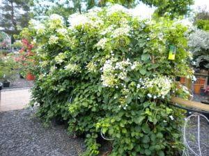 Kletterhortensie • Hydrangea petiolaris