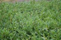 Kriechendes Garten-Schleierkraut • Gypsophila repens Rosea