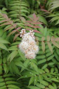 Niedrige Fiederspiere Sem® • Sorbaria sorbifolia Sem
