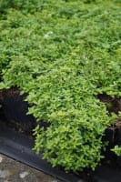 Garten-Thymian Golden Dwarf • Thymus citriodorus Golden Dwarf