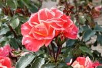 Rosa Airbrush • Rose Airbrush