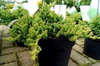 Niederer Zwergwacholder • Juniperus procumbens Nana