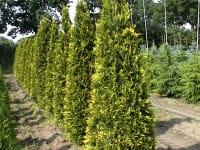 Goldspitzen Lebensbaum Aurescens • Thuja plicata Aurescens
