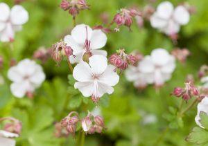 Cambridge-Garten-Storchschnabel Biokovo • Geranium x cantabrigiense Biokovo