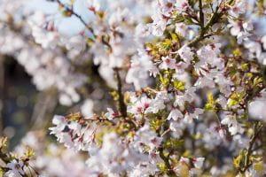 Geschlitzte Kirsche • Prunus incisa Kojou-no-mai