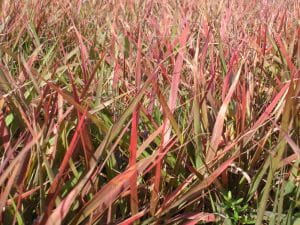 Purpur-Liebesgras • Eragrostis spectabilis