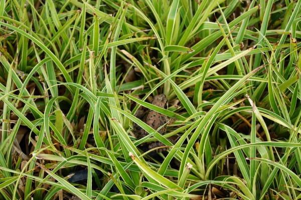Garten-Marbel Marginata • Luzula sylvatica Marginata