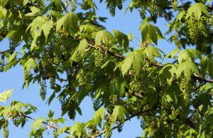 Bergahorn • Acer pseudoplatanus