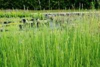 Provence Lavendel Grappenhall • Lavandula intermedia Grappenhall