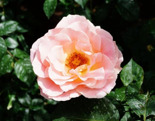 Strauchrose Rokoko • Rosa Rokoko