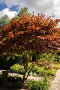 Fächerahorn • Acer palmatum