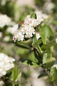 Schwarze Apfelbeere • Aronia melanocarpa