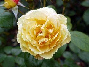 Rose Sunstar ® • Rosa Sunstar ®