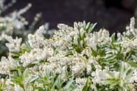 Schatten-glöckchen Rondo • Pieris japonica Rondo