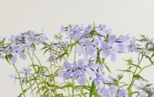 Garten-Flammenblume Clouds of Perfume • Phlox divaricata Clouds of Perfume