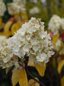 Rispenhortensie Silver Dllar • Hydrangea paniculata Silver Dollar