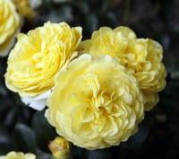 Rose Solero • Rosa Solero