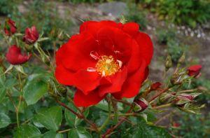 Rose Austriana • Rosa Austriana