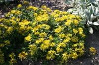 Fetthenne, Mauerpfeffer • Sedum floriferum Weihenstephaner Gold