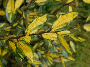 Panaschierte Ölweide • Elaeagnus pungens Maculata