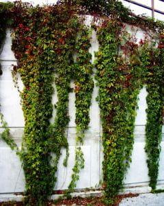 Wilder Wein • Parthenocissus quinquefolia
