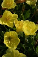Missouri-Nachtkerze • Oenothera macrocarpa