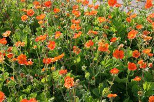 Garten-Nelkenwurz Borisii • Geum coccineum Borisii