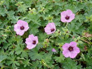 Aschgrauer Garten Storchschnabel • Geranium cinereum Ballerina