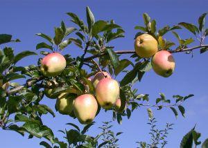 Apfel Gelber Bellefleur • Malus Gelber Bellefleur