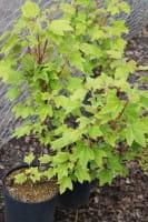 Johannisbeere Heinemanns Rote Spätlese • Ribes rubrum Heinemanns Rote Spätlese