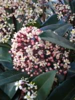 Japanische Blütenskimmie Rubella • Skimmia japonica Rubella