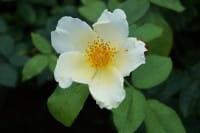 Strauchrose 'Golden Wings' • Rosa 'Golden Wings'